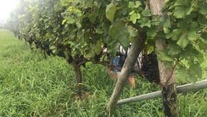 Tsukuba Vineyardでのブドウ収穫体験