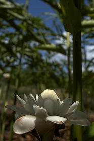 rose de pocelaine cultivée par les hmong dan sla village de cacao photographie réalisée par charlotte fallon