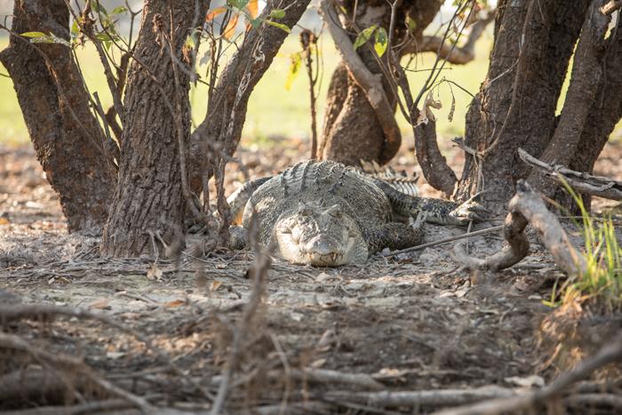 Crocodiles in the wild