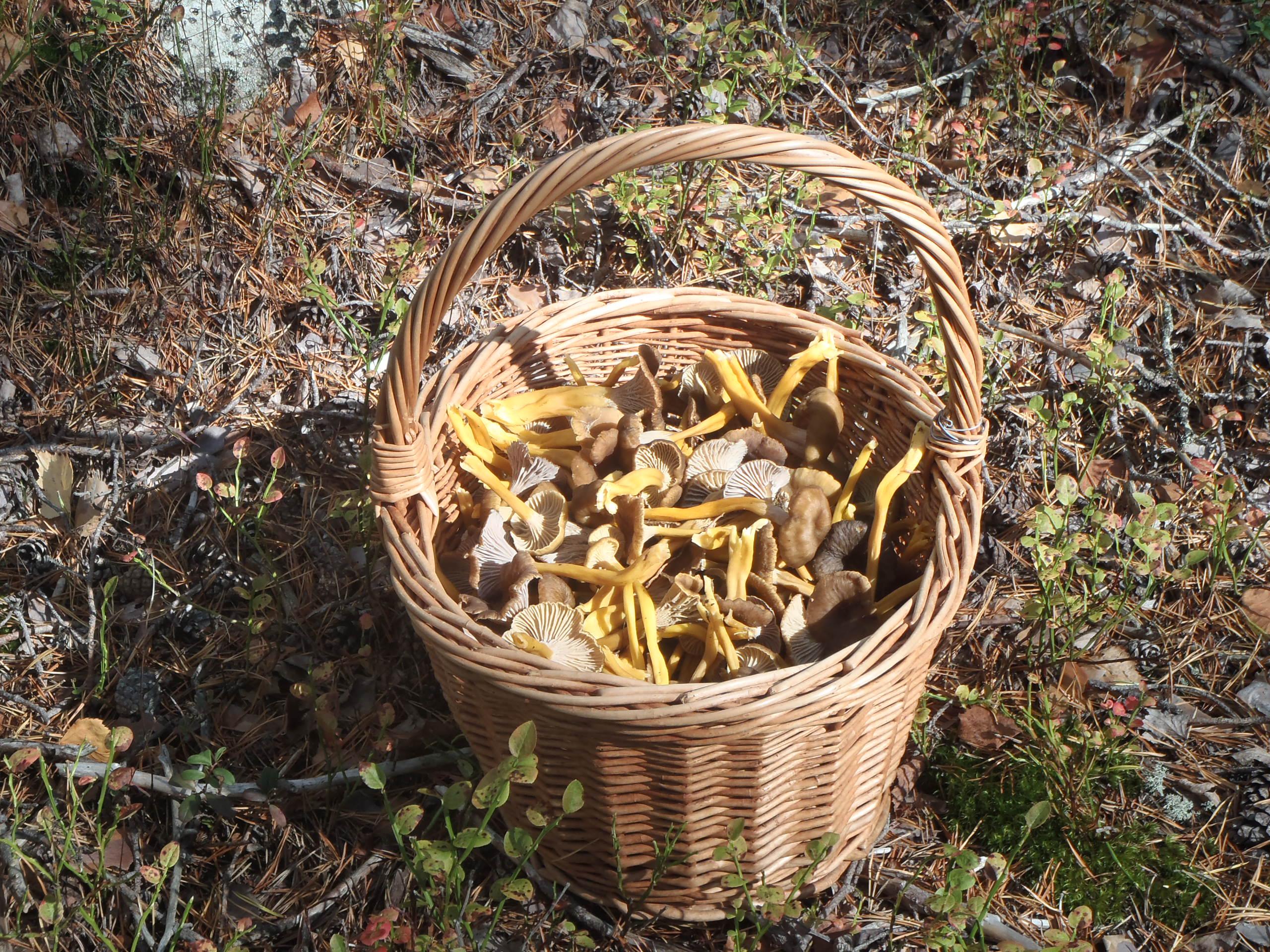 Sienestys ja marjastus
