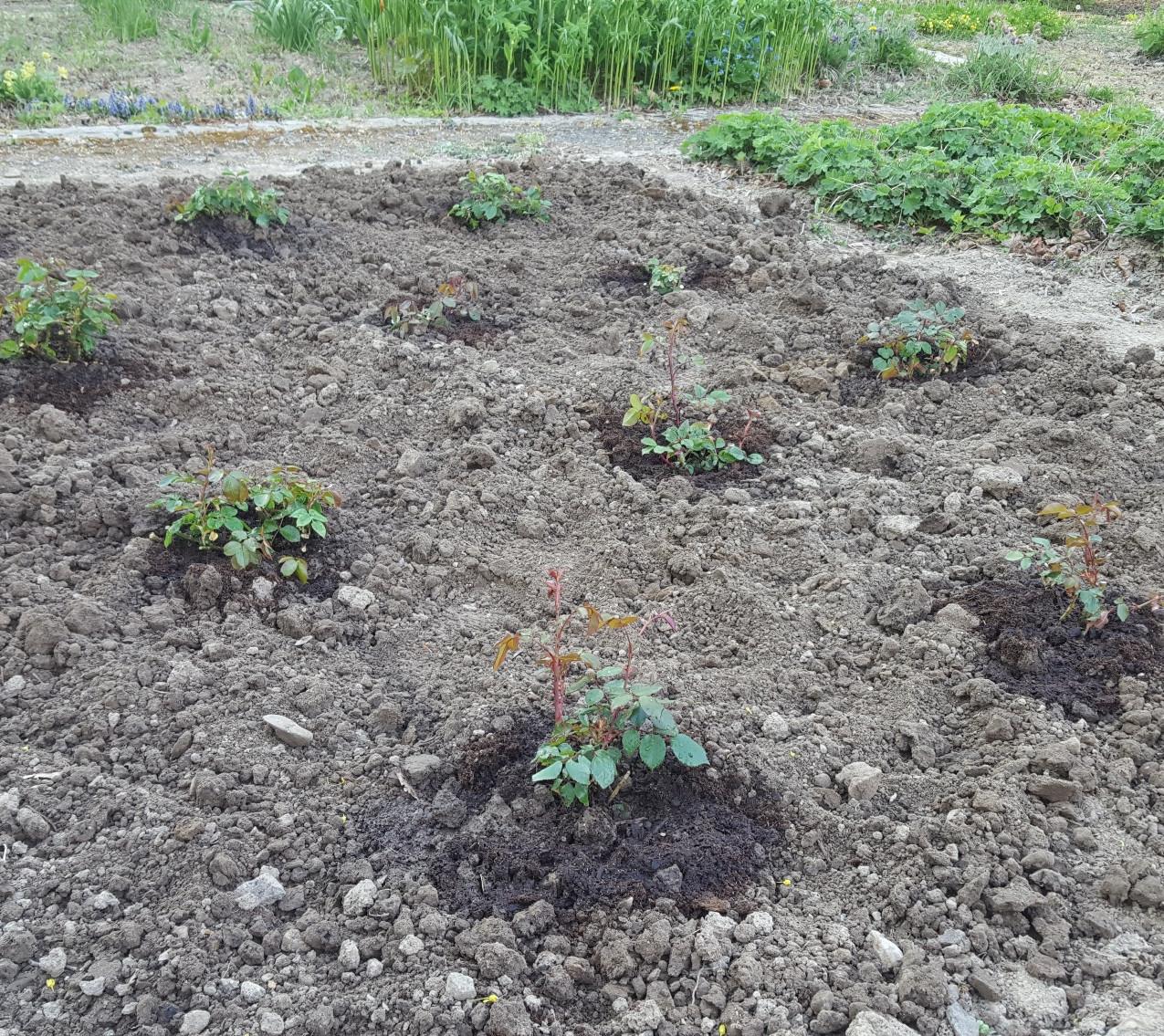 Zahrada-jaro-2020-Novy zahon ruzi