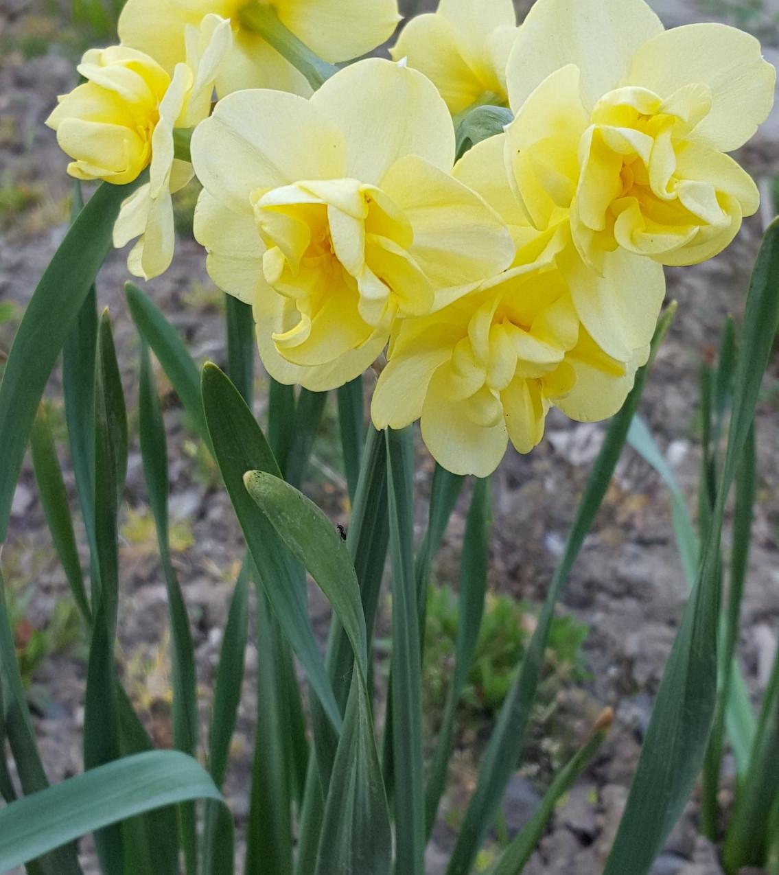 Zahrada-jaro-2020-Zlute narcisy