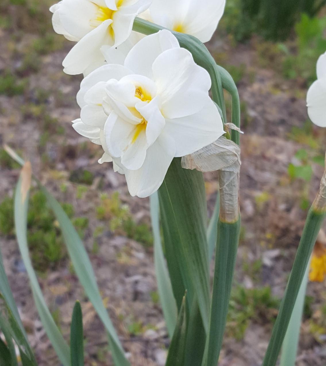 Zahrada-jaro-2020-Narcisy