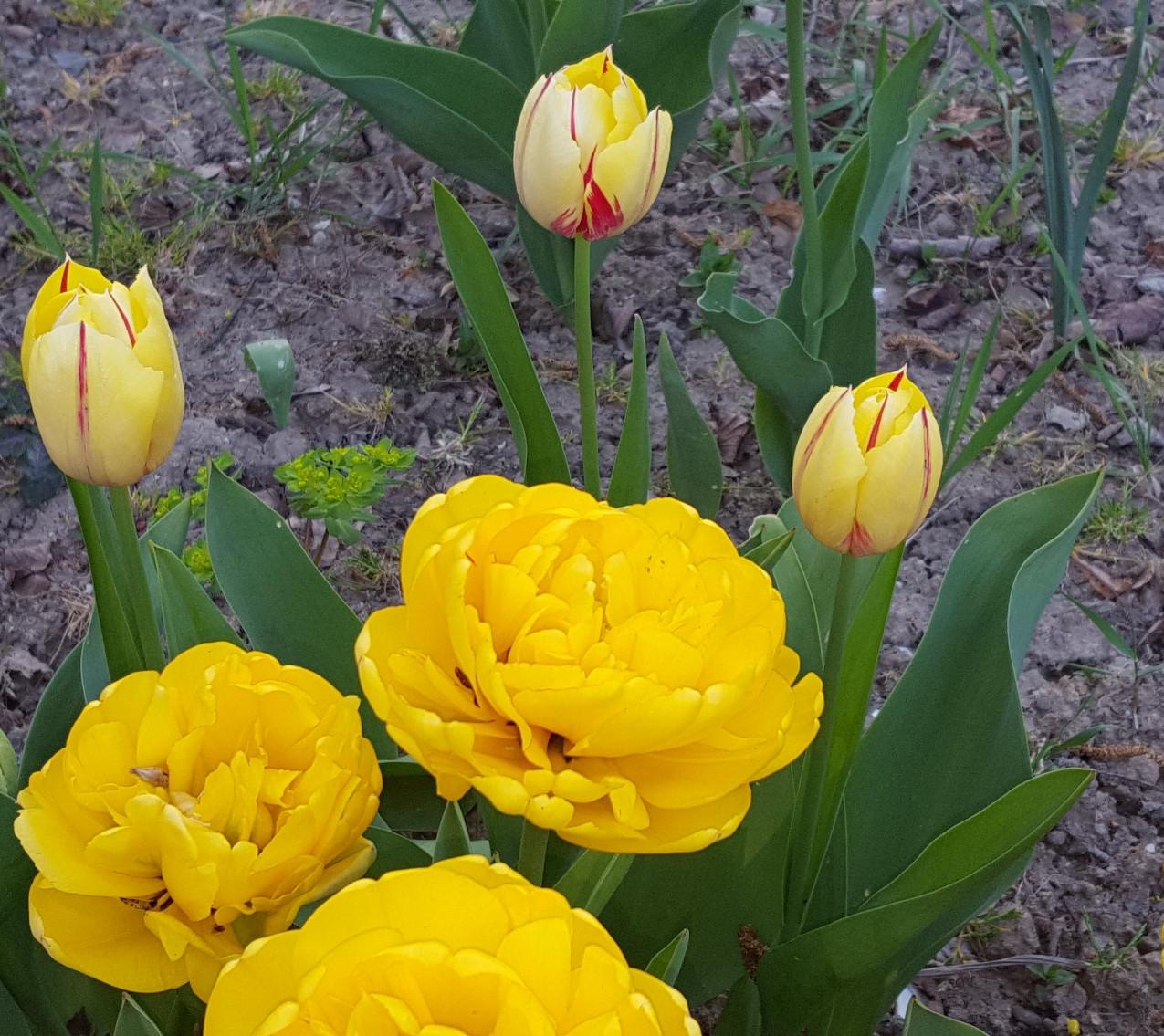 Zahrada-jaro-2020-Plnokvete tulipany