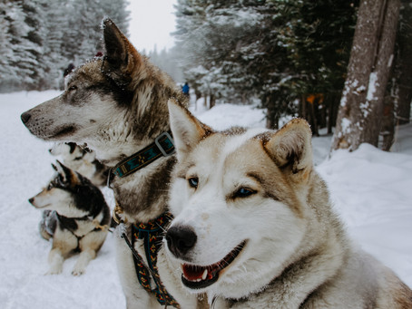 Advice From A Sled Dog; Dog Sledding in Banff, Canada