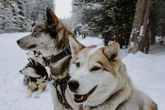 Advice From A Sled Dog; Dog Sledding in Banff, Canada