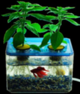 אקוופוניקה - גידול מזון אורגני