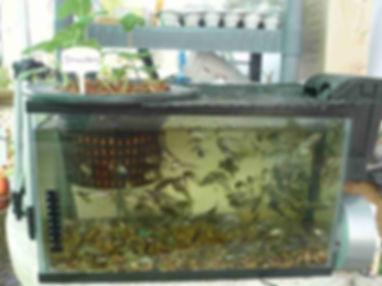 אקוופוניקה - גידול דגים באקווריום
