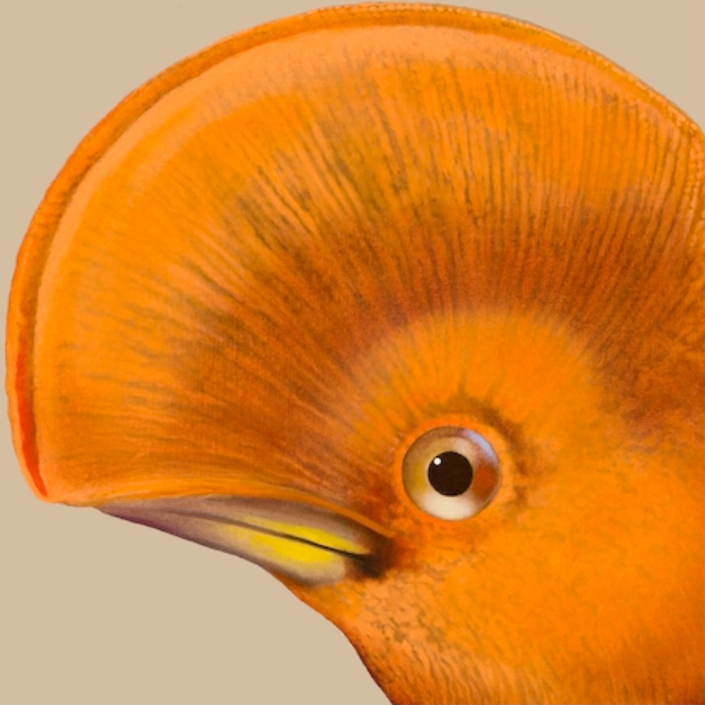 Head detail of a cock-of-the-rock bird featuring a large, curved head crest