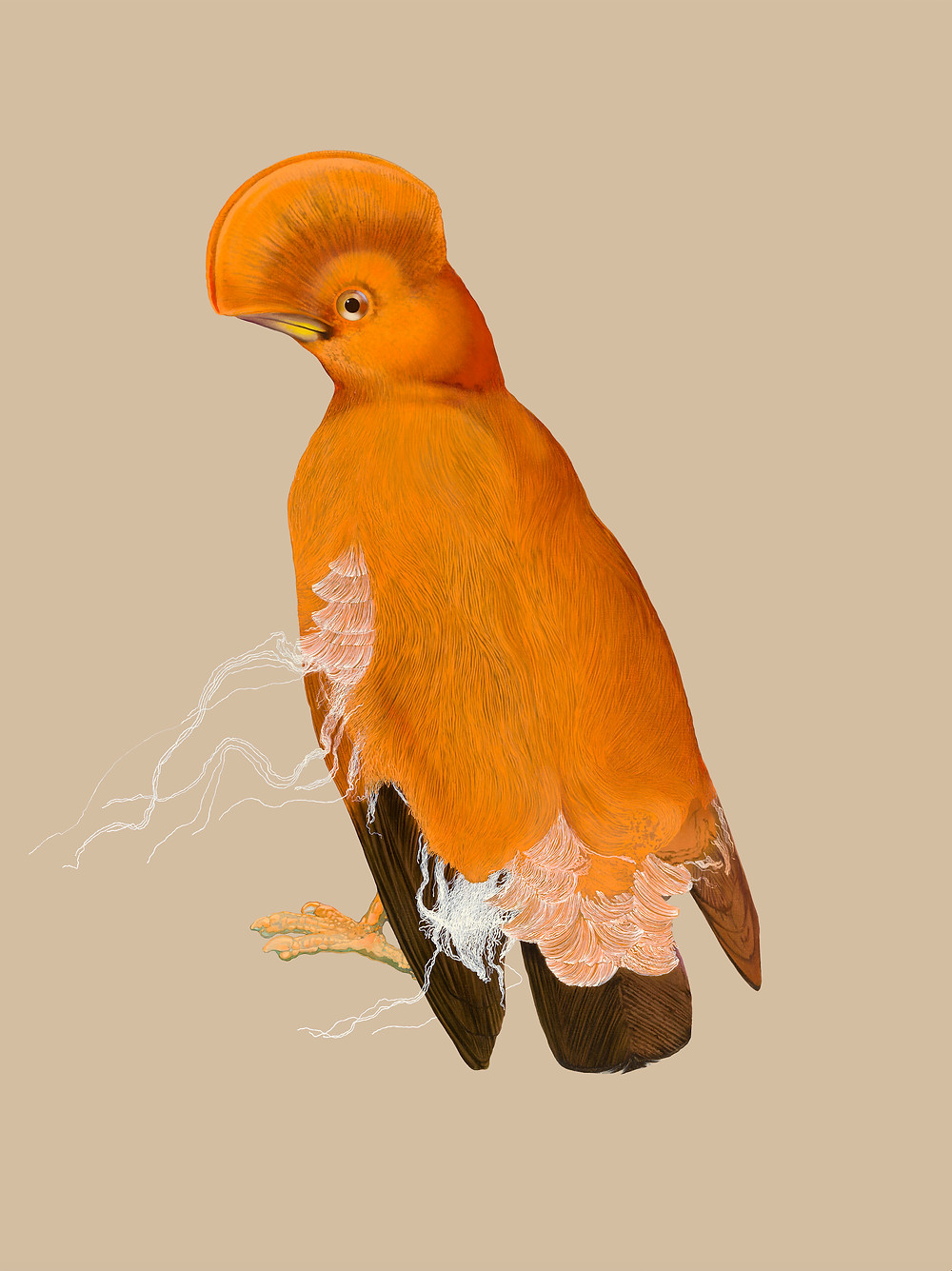 Sub-tropical bird with bright orange plumage and an impressive curved crest of head feathers