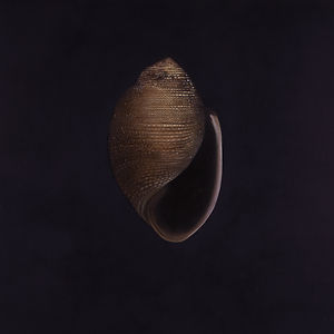 'Turban Shell' by Mauricio Ortiz - an oil painting of a turban shell on a black background