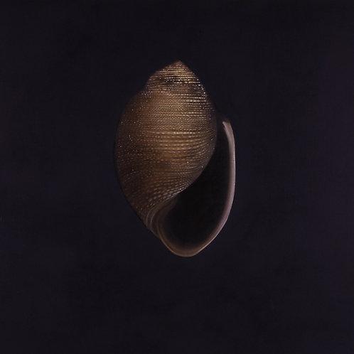 'Turban Shell' by Mauricio Ortiz