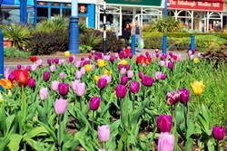 Flats-tulips