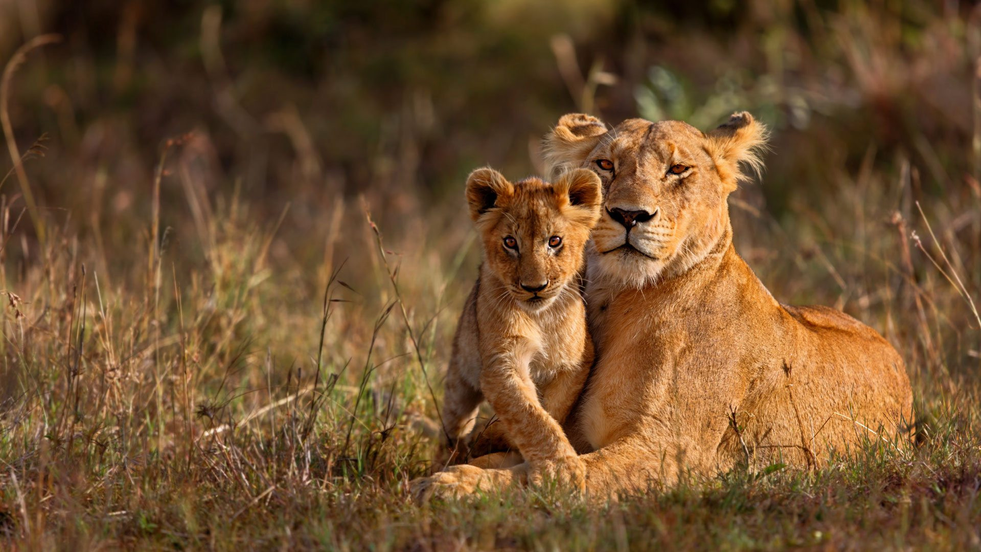 A-tender-moment-between-Lioness-and-cub.
