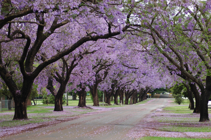 jacarandas_in_pretoria_in_spring7e77e5c.
