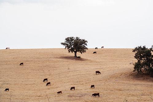 Spanische Kühe