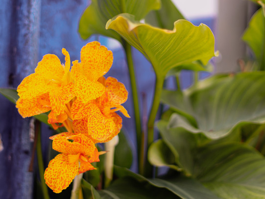 Óbidos_Flower