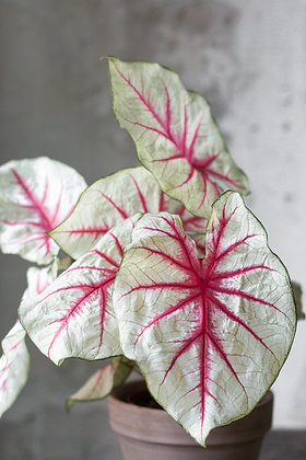 Caladium bicolor 'White Queen'