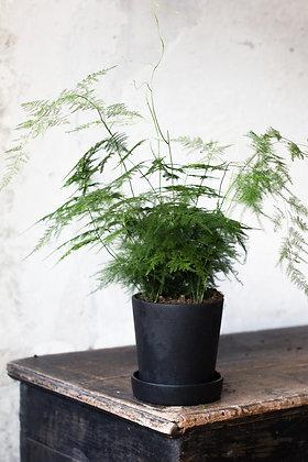 Asparagus setaceus M