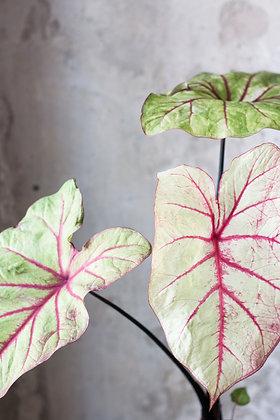 Caladium bicolor 'Autumn beauty' L