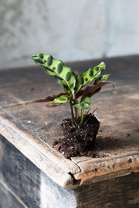 Calathea lancifolia XS