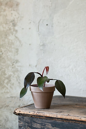 Philodendron 'Royal Queen'