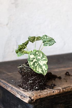 Caladium praetermissum 'Hilo Beauty'
