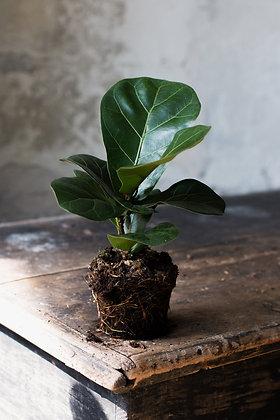 Ficus lyrata S