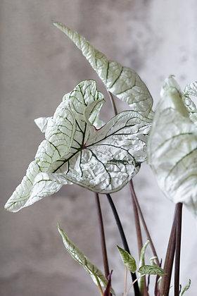 Caladium 'White Frost'