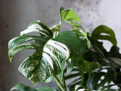 Panašované rastliny: najnovší trend medzi izbovými rastlinami