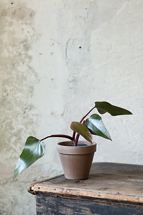 Philodendron 'Dark Lord'