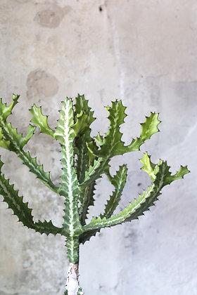 Euphorbia lactea XL