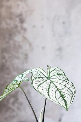Caladium bicolor 'White Christmas' S