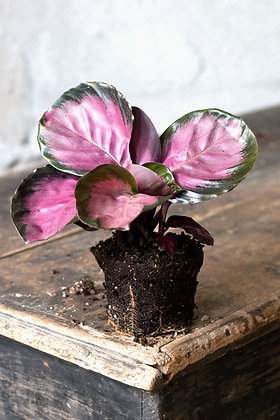 Calathea roseopicta 'Rosy' S