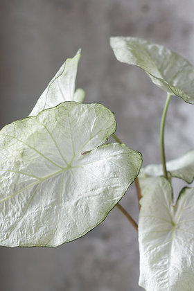 Caladium bicolor 'Florida Moonshine'
