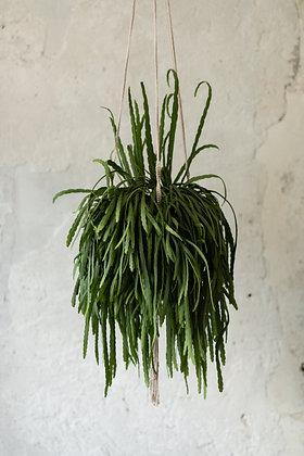 Lepismium bolivianum