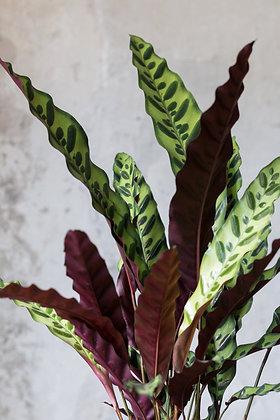 Calathea lancifolia L