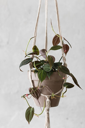 Philodendron hederaceum subsp. hederaceum