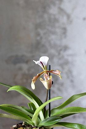 Črievičkovec, Paphiopedilum cv.