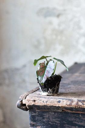 Caladium bicolor cv. XS