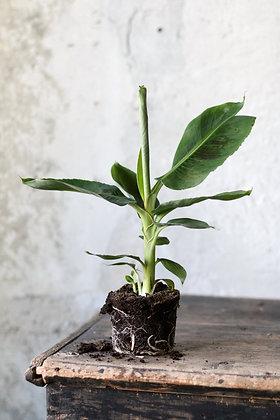 Banánovník, Musa acuminata 'Dwarf Cavendish'