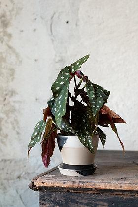 Črepník 'Botanist' M