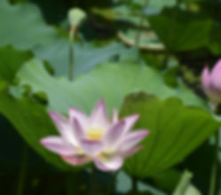 Canva - Lotus, Flower, Summer, Water, Aq