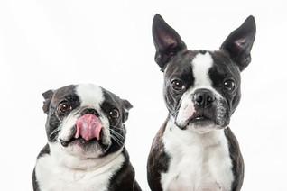 Bozeman Photographer - boston terriers