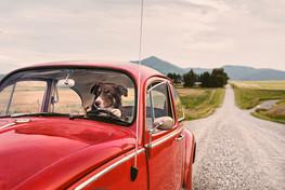 Bozeman Photographer - Driving Dog
