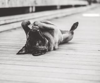 Mastiff1HR.jpg