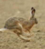 hare_run.jpg