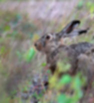 Hares_Brown_Hare_452873_1920x1200.jpg