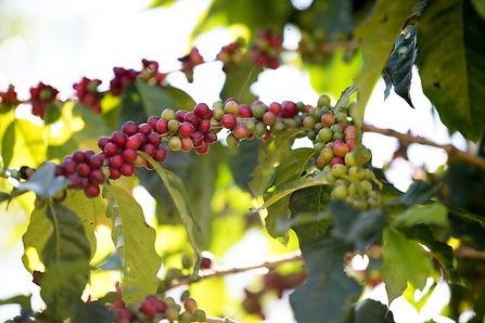 coffee-bean-berry-ripening-on-coffee-far