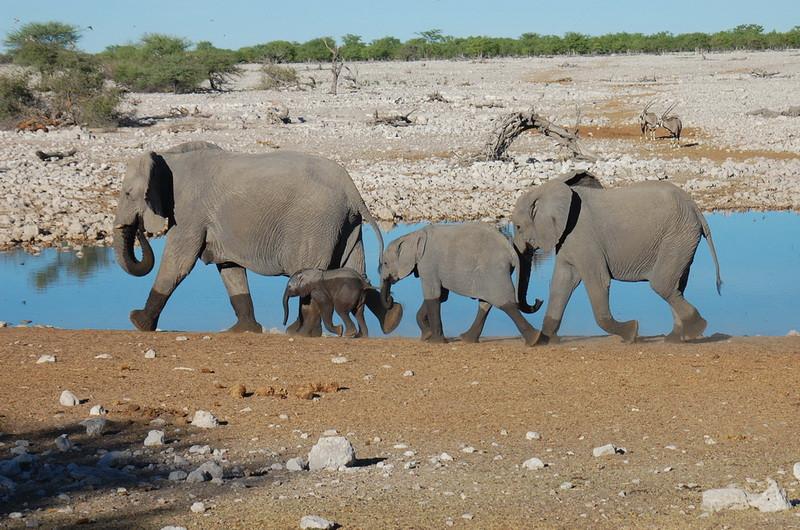 Elephant Etosha (26).jpg
